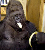 Koko the Gorilla contemplates the merits of Social Media Marketing